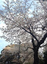 20140329sakura01.jpg