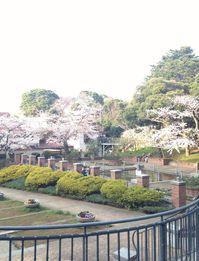 20140329sakura04.jpg